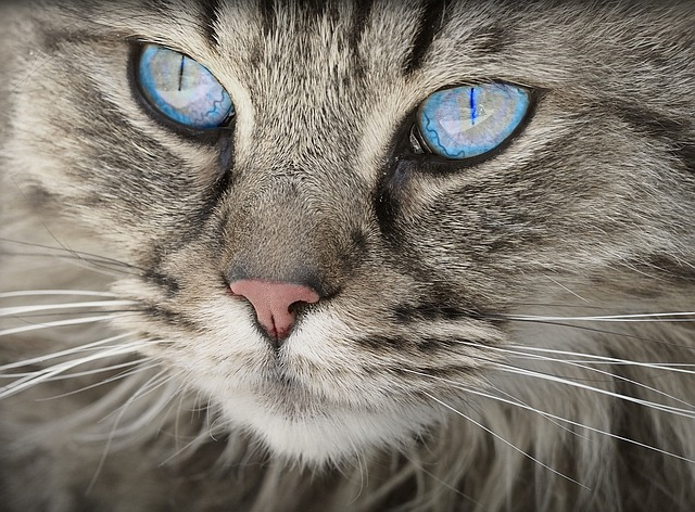 modrooká kočka