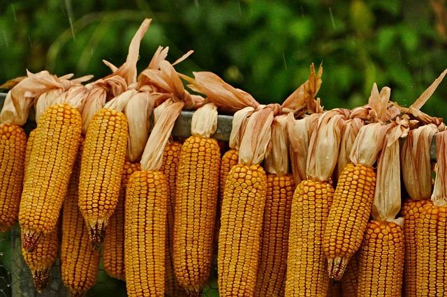 sušení kukuřice